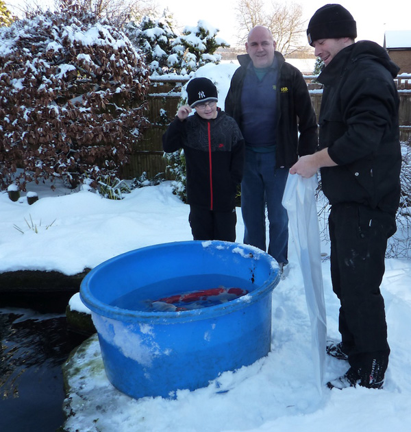 Temperature is low at 5C but does make for safer transportation without much risk of travel damage as the Koi are caught and packed