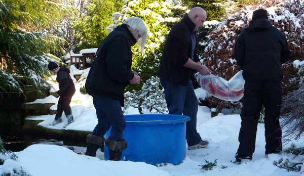 Koi were caught in sets of three and transported in individual double-strength bags.