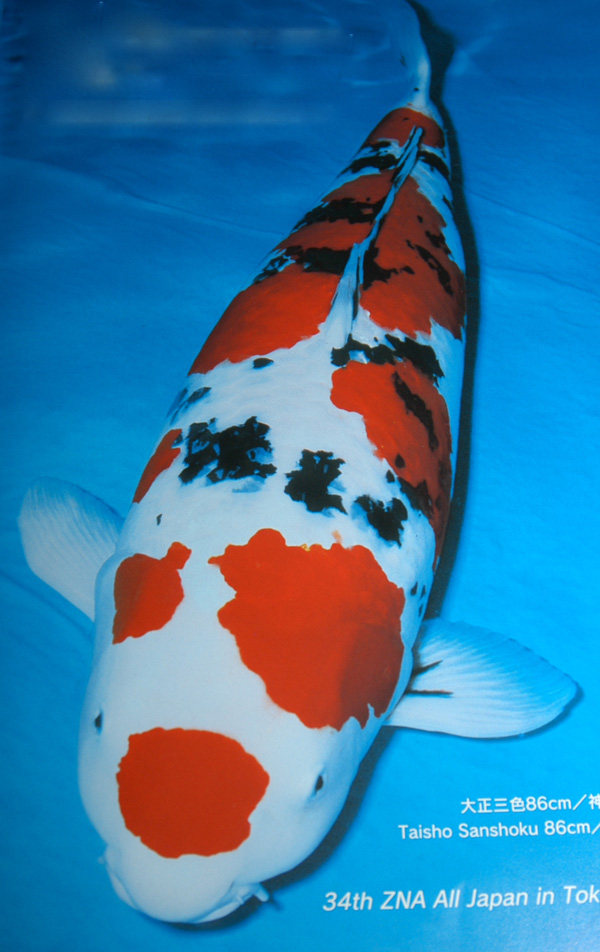 Koi that won world class shows in Japan
