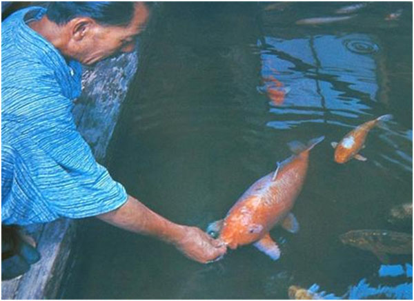 Dr. Koshihara feeding his world-famous pet carp