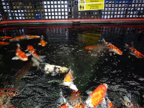 A well-organised, professional Koi outlet today – Cascade Water Gardens.