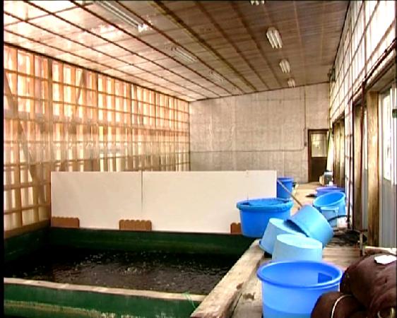 Suzusei Koi farm 1