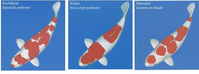 KOHAKU – A white Koi with red pattern