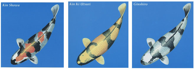 These varieties are metallic Koi first developed from Showa varieties