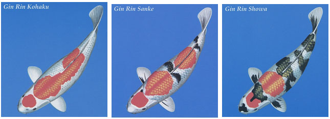 'Kin Rin' refers to Koi adorned with gold reflective scales (very rare indeed) and 'Gin Rin refers to the much more common silver reflective scales