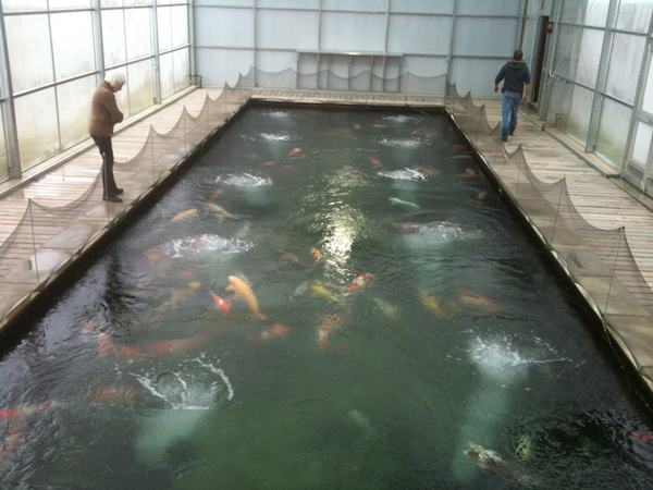 130 Koi in the inside pond