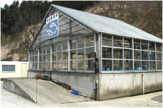 'Yozaimon' (aka Yozen or Conias) Koi farm, Koguriyama village.