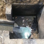 Baby koi in drain