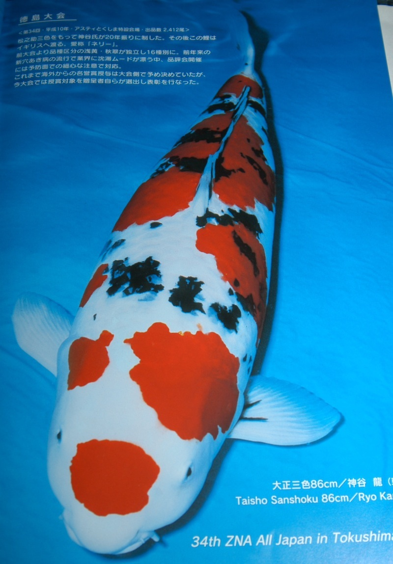 How valuable is the koi that will take supreme champion at for Expensive koi fish
